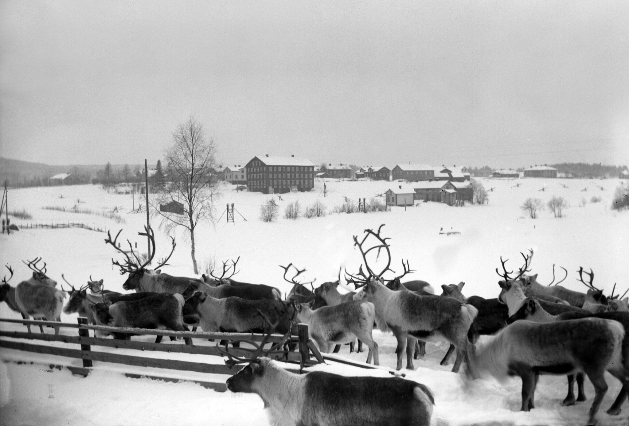Renar i vinterlandskap med hälsingegård i bakgrunden